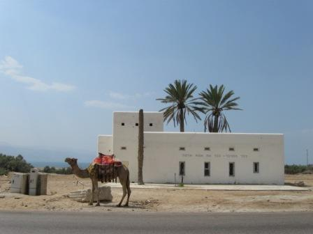 A camel in Israel