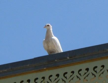 A white dove in Israel