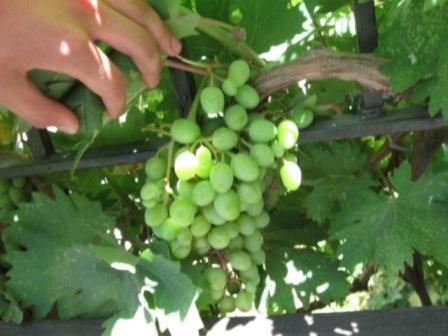 Grapes in Israel