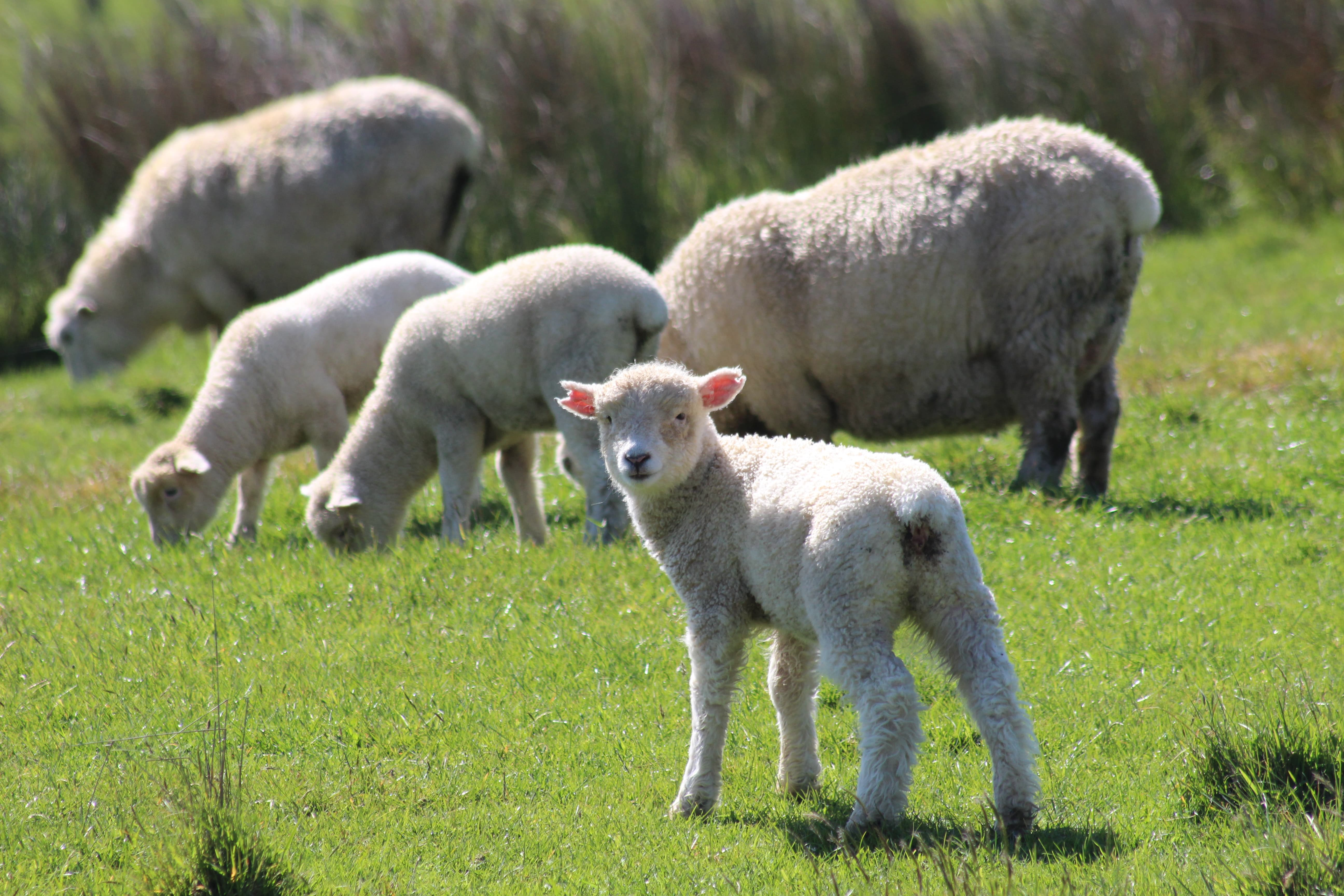 A Lamb in New Zealand